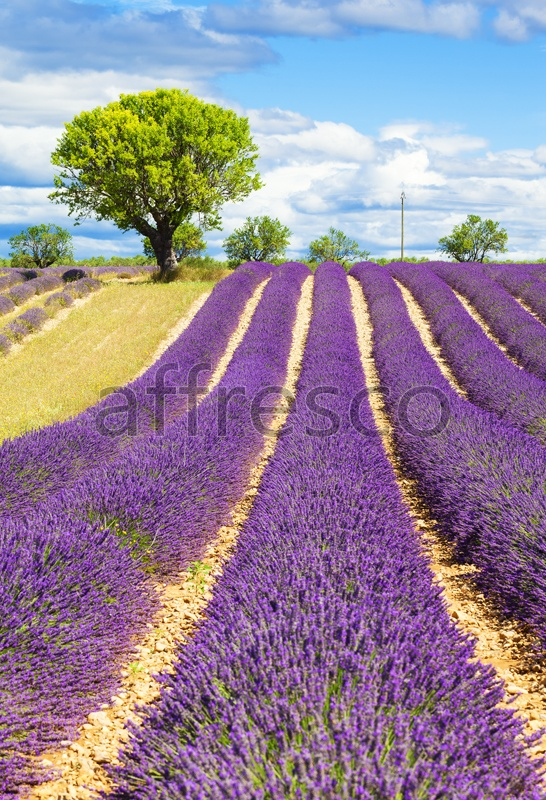 ID13445 | Pictures of Nature  | Lavender field | Affresco Factory